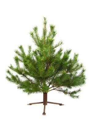 Fresh pine tree isolated on white background