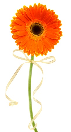 orange gerbera with bow isolated on white