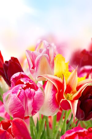 colorful blooming tulips