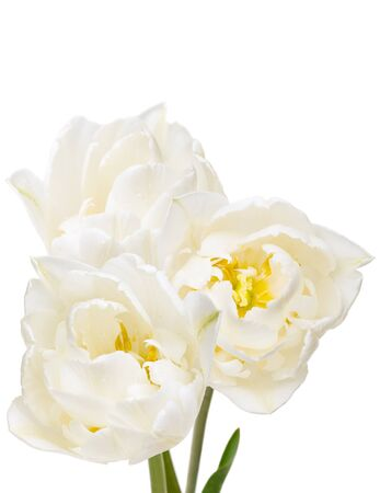 bouquet of white tulips isolated on white 版權商用圖片