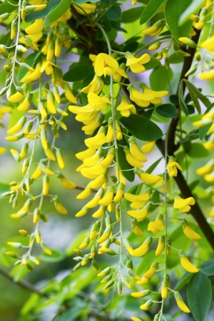 Golden Shower Tree, Purging Cassia, Golden Chain Tree, Indian Laburnum (Cassia fistula) Stock Photo