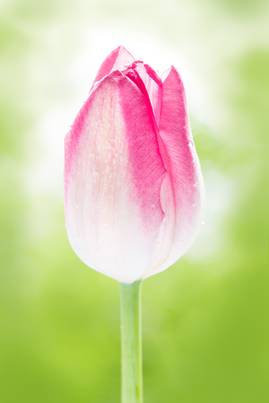 pink tulip during a springtime in the garden closeup