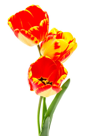 Spring bouquet of red yellow tulips isolated on the white background. 版權商用圖片