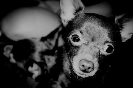 Black &  White Chihuahua