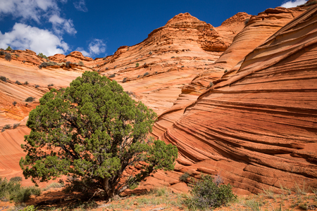 brigt: A green Juniper tree stands out from the brigt red-orange sandstone of the Kaibab Plateau on the UtahArizona boarder. The sandstone layers make wave-like features throughout the rock as they erode at different rates