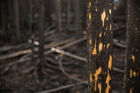 Close up on detail of one burnt tree in a thick forest recently destroyed by a wild fire in Northern British Columbia, Canada. The tree is black with char but some of the burnt bark has fallen away to reveal the core of the tree.