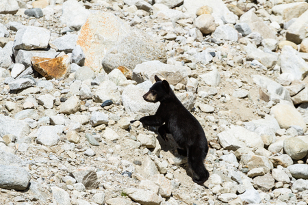Young bear cub wandering through large, white granite boulders looking for its mother.