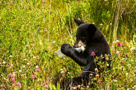 Tragic scene of what happens when litter is found by wildlife. This baby bear cub found a plastic bottle that someone left outside and is chewing on it, curious about the unnatural object. Could be used to raise awareness about problems with littering and