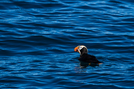 tufted puffin: This Tufted Puffin (Fratercula cirrhata) aka Crested Puffin, just surfaced with a fresh catch in its beak. The small birds are great swimmers and dive for fish, but have a difficult time flying, especially taking off from the water. Puffins will spend mos