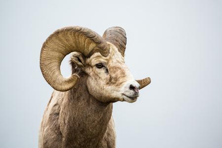 Gros plan de la tête et des cornes d'un mouton sauvage à grandes cornes dans le sud du Canada. Le fond est un brouillard gris neutre sur un lac.