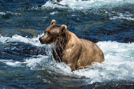This sow brown bear comes up from fishing underwater and drips water off her face. She has come to Brooks Falls in the Katmai National Park, Alaska for the salmon run in early July. Stock Photo