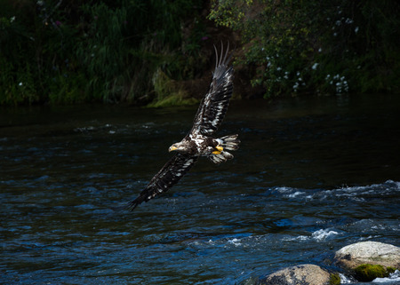 Juvenile bald eagle flying over the Brooks River in Katmai National Park, searching for fish dropped by grizzly bears up stream. 版權商用圖片