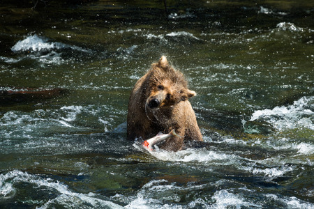 After catching a fish underwater, this large brown bear shakes the water off her fur before finishing her meal. Brooks River in Katmai National Park.