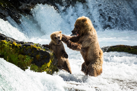 A hungry mother bear teachers her cub that he needs to find his own food, and disciplines him for trying to eat her fresh catch from the Brooks River in Katmai National Park.