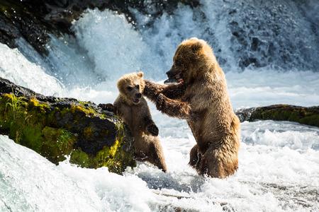 Eine hungrige Mutter trägt Lehrer ihr Junges, das er braucht, um sein eigenes Essen zu finden, und diszipliniert ihn für den Versuch, ihren frischen Fang vom Brooks River im Katmai Nationalpark zu essen. Standard-Bild - 72064911