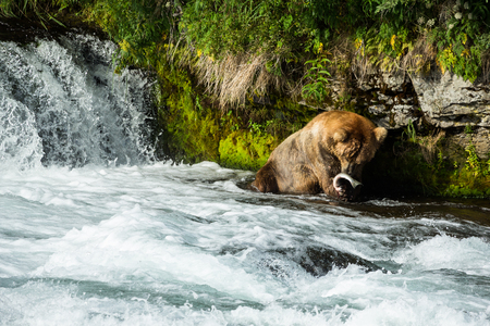 Large male brown bear catching salmon during the mating run in early July. Many bears come to the falls during the salmon run to eat their fill of easy to catch fish.