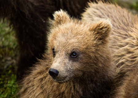 he: This runt of a litter of three bear cubs is very small and stands little chance to survive in the wild. He lies very close to his mother while she watches a nearby male bear, a major threat to the three cubs.