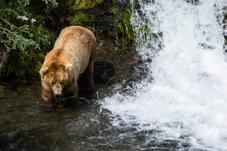 Boar brown bear walks down to the river next to a small waterfall, part of Brooks Falls in Katmai National Park, Alaska. The bear is coming down to catch fish during the salmon run in early July.