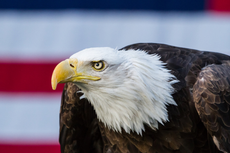 The symbol of America, a bald eagle, sits in front of the countrys flag of red, white and blue.
