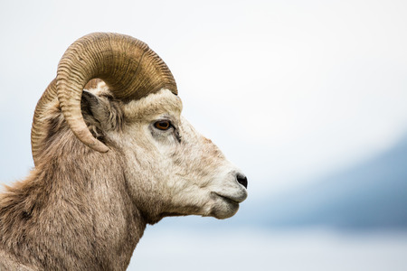 Side view of male bighorn sheep ram against a grey neutral sky. Stok Fotoğraf