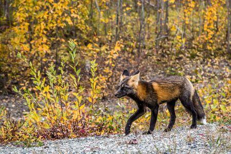 An adult fox of the Cross Fox subspecies, living in northern Canada. He walks among autumn foliage near the Alaska Highway. Stock Photo