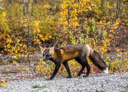 A wild cross fox, closely related to red fox, roaming through the forest and glancing toward the camera. Autumn colors signal changing seasons. 写真素材