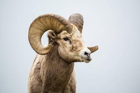 Mouflon d'Amérique mâle grignotant sur l'herbe. Sa mâchoire de côté alors qu'il mâche sa nourriture dans le sud du Canada, près du Montana. Banque d'images