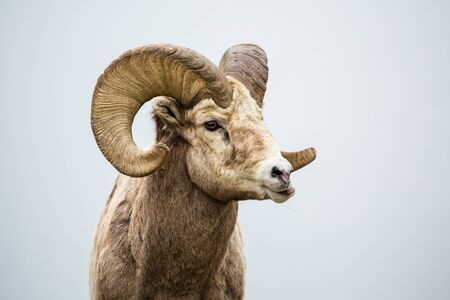 Male bighorn sheep munching on grass. His jaw sideways as he chews his food in southern Canada near Montana.