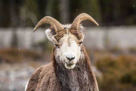 Bighorn Sheep mountain goat ewe making a funny face looking into camera in Southern Canada near Montana. Фото со стока