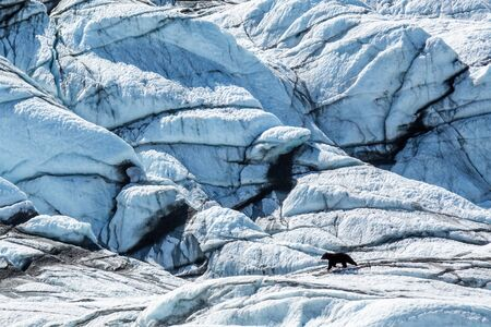 A young black bear wanders across the blue ice of a glacier in remote Chugach Mountains in Alaska. Фото со стока