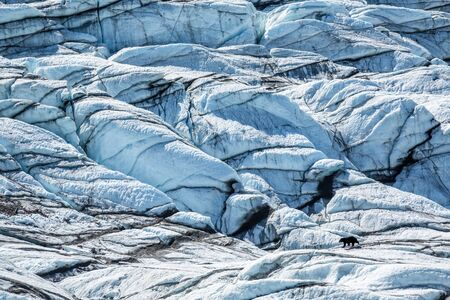A black bear walking across the ice of the Matanuska Glacier in south-central Alaska. Trekking among dangerous crevasses and seracs on white and blue ice.