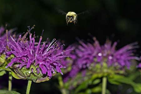 飛行中、着陸の花を期待してバンブルビー