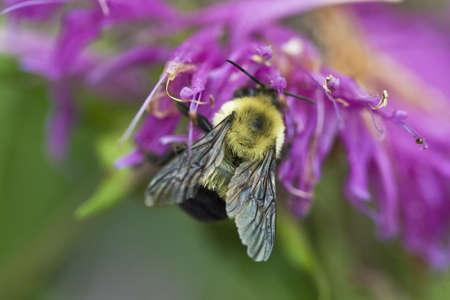 花のバンブルビー翼を閉じる