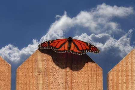 Monarch Butterfly on fence with blue cloudy sky Stock Photo - 4809558