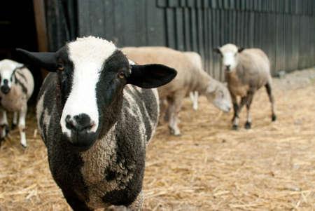 Sheep in barnyard looking directly into camera