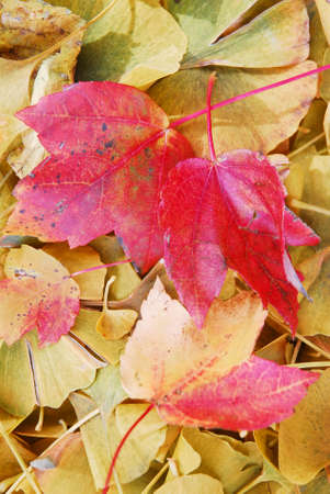 Colorful maple and ginko leaves symbolize fall, changing of the season.