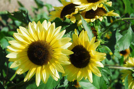 Sunflowers shown on bright summer day.