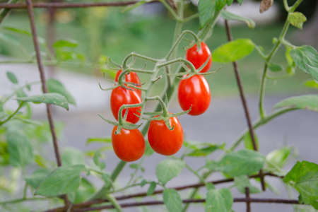 Cherry tomatoes growing on vine. Symbolizes health, life, vitality. Shallow depth of field.