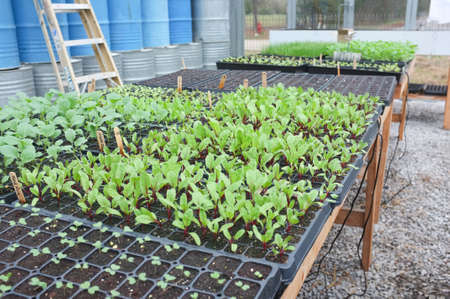 Red beet seedlings growing in a greenhouse. Symbolizes health, nutrition, and agriculture.