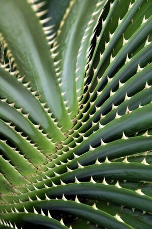 thorn tip: Thorny Leaves
