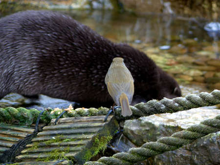 Robin watching an otter feed Banco de Imagens