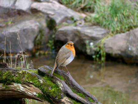 Robin on a log overlooking water