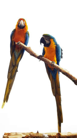 Two macaws on a branch