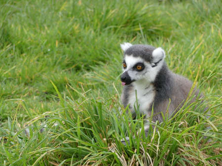 Lemur sitting in the grass, wide eyed,with his tongue sticking out