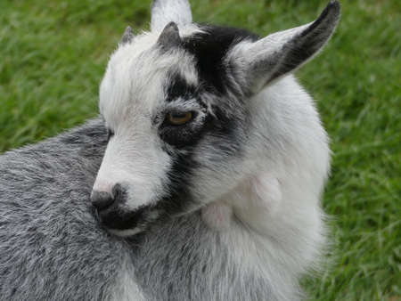 The African pygmy goat is a breed of miniature domestic goat. The pygmy goat is quite a hardy animal, and can adapt to virtually all climates.