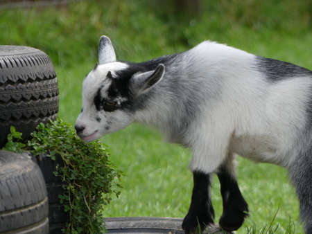 Capra aegagrus hircus. The African pygmy goat is a breed of miniature domestic goat. The pygmy goat is quite a hardy animal, and can adapt to virtually all climates.