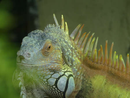 American Iguana also known as the Green Iguana. Native to Central, South America, and the Caribbean Stock Photo