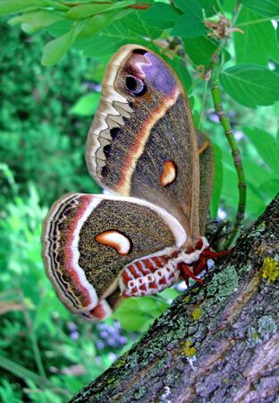 elder tree: cecropia moth rests on a box elder tree