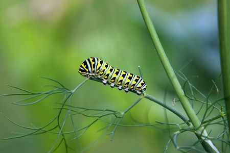 swallowtail caterpillar , Papilio polyxenes ,eating a garden dill plant photo