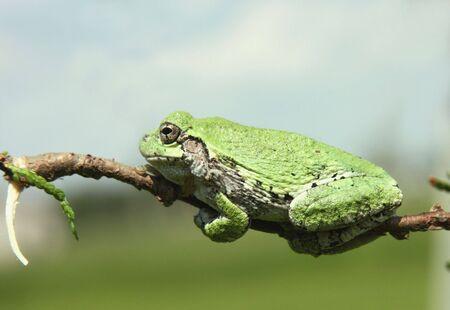 녹색 나무 개구리